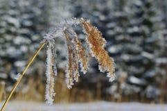 Παγωμένος ξηρός κάλαμος Στοκ Εικόνα