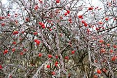 Παγωμένος ο briar Στοκ Φωτογραφίες