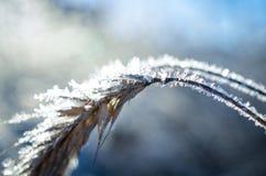 Παγωμένος σίτος που αυξάνεται με τα κρύσταλλα πάγου Στοκ εικόνες με δικαίωμα ελεύθερης χρήσης