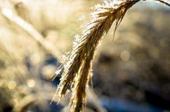 Παγωμένος σίτος που αυξάνεται με τα κρύσταλλα πάγου Στοκ φωτογραφίες με δικαίωμα ελεύθερης χρήσης