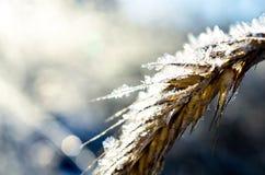 Παγωμένος σίτος που αυξάνεται με τα κρύσταλλα πάγου Στοκ Εικόνα