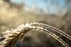 Παγωμένος σίτος που αυξάνεται με τα κρύσταλλα πάγου Στοκ Εικόνες