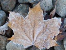 παγωμένος σφένδαμνος φύλ&lambda Στοκ εικόνα με δικαίωμα ελεύθερης χρήσης