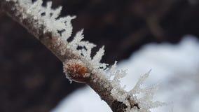 Παγωμένος το ladybug Στοκ Φωτογραφίες