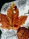 παγωμένος φθινόπωρο σφένδαμνος φύλλων Στοκ Εικόνες