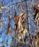Παγωμένος φωτεινός χειμερινός ήλιος φύλλων και σπόρων σφενδάμνου Στοκ εικόνα με δικαίωμα ελεύθερης χρήσης