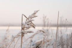 παγωμένος χειμώνας χλόης Στοκ Εικόνες