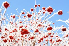 παγωμένος rowanberry χειμώνας Στοκ Εικόνες