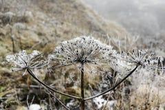 Παγωμένος sosnowsky στη φύση, wnter χρόνος, Γεωργία Στοκ Φωτογραφία