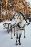 Παγωμένο άλογο με το έλκηθρο Στοκ εικόνες με δικαίωμα ελεύθερης χρήσης
