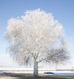Παγωμένο δέντρο σημύδων τον Ιανουάριο Στοκ εικόνες με δικαίωμα ελεύθερης χρήσης