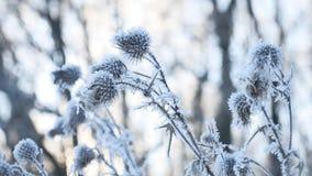 Παγωμένο αγκάθι στο τοπίο χειμερινής δασικό φύσης χιονιού χειμερινής ξηρό χλόης χιονιού απόθεμα βίντεο