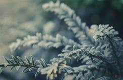 Παγωμένο αειθαλές δέντρο Στοκ Φωτογραφίες