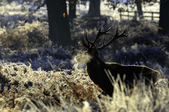 Παγωμένο αρσενικό ελάφι Στοκ Φωτογραφίες