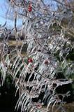 παγωμένο δέντρο κλάδων Στοκ Εικόνα
