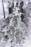 παγωμένο δέντρο πεύκων Στοκ Εικόνα