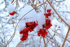 Παγωμένο μούρο σορβιών στην αρχή της άνοιξη Στοκ Εικόνα