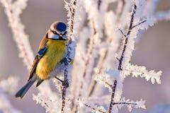 Παγωμένο μπλε Tit Στοκ φωτογραφία με δικαίωμα ελεύθερης χρήσης