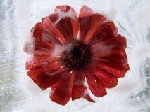 Παγωμένο λουλούδι του gerbera στοκ φωτογραφίες