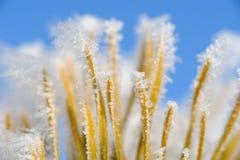 παγωμένο πεύκο βελόνων Στοκ Φωτογραφίες
