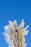 παγωμένο πεύκο βελόνων Στοκ φωτογραφία με δικαίωμα ελεύθερης χρήσης