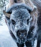 Παγωμένο πρόσωπο βισώνων Στοκ Εικόνα
