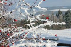 Παγωμένο ροδαλό ισχίο που καλύπτεται από το χιόνι και το χειμερινό τοπίο Στοκ φωτογραφία με δικαίωμα ελεύθερης χρήσης