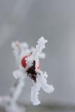 Παγωμένο ροδαλό ισχίο που καλύπτεται από το χιόνι Στοκ Εικόνα
