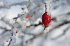 Παγωμένο ροδαλό ισχίο που καλύπτεται από το χιόνι Στοκ φωτογραφία με δικαίωμα ελεύθερης χρήσης