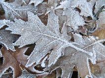 Παγωμένο δρύινο φύλλο δέντρων Στοκ Φωτογραφίες