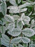 παγωμένο φυτό Στοκ εικόνες με δικαίωμα ελεύθερης χρήσης