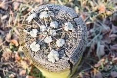παγωμένο φυτό Στοκ Φωτογραφία