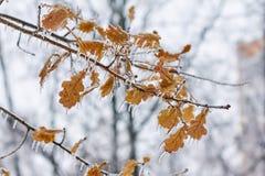 Παγωμένο φύλλο δρύινος-δέντρων σε έναν κλάδο, έναν βαριούς χειμώνα και ένα φθινόπωρο Στοκ Εικόνες