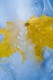 Παγωμένο φύλλο σφενδάμου Στοκ Εικόνες