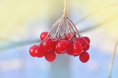 Παγωμένο χειμώνας viburnum Κόκκινα μούρα Viburnum Στοκ φωτογραφίες με δικαίωμα ελεύθερης χρήσης