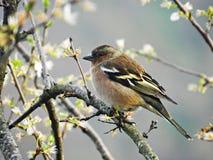 Παγωμένο Finches Στοκ φωτογραφίες με δικαίωμα ελεύθερης χρήσης