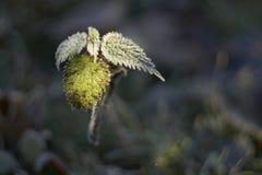 Παγωμένο nettle Στοκ Εικόνες