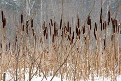 παγωμένο sedges καλάμων έλος Στοκ εικόνες με δικαίωμα ελεύθερης χρήσης