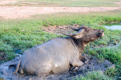 Παιγμένη Buffalo λάσπη στην Ταϊλάνδη στοκ φωτογραφία με δικαίωμα ελεύθερης χρήσης