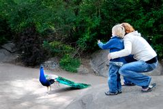 Παιδί και μητέρα στο ζωολογικό κήπο με Peacock στοκ εικόνες