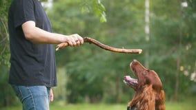 Παιχνίδια ατόμων με το σκυλί κατοικίδιων ζώων του - ιρλανδικός ρυθμιστής Το αρσενικό του δίνει τον κλάδο του δέντρου φιλμ μικρού μήκους
