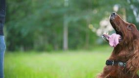 Παιχνίδια ατόμων με το σκυλί κατοικίδιων ζώων του - ιρλανδικός ρυθμιστής Το αρσενικό του δίνει τον κλάδο του δέντρου απόθεμα βίντεο