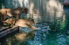 Παιχνίδια λιονταρινών με μια σφαίρα Στοκ φωτογραφία με δικαίωμα ελεύθερης χρήσης