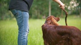 Παιχνίδια νεαρών άνδρων με το σκυλί κατοικίδιων ζώων του - ιρλανδικός ρυθμιστής Το αρσενικό του δίνει τον κλάδο του δέντρου απόθεμα βίντεο