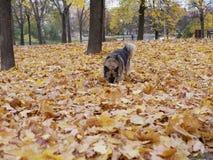 Παιχνίδια σκυλιών στο πάρκο φθινοπώρου στοκ φωτογραφία με δικαίωμα ελεύθερης χρήσης