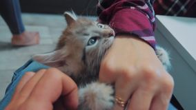 Παιχνίδι ατόμων με ένα γατάκι με το χέρι του στην περιτύλιξή του λίγο γατάκι είναι παιγμένο όμορφο χαριτωμένο αστείο βίντεο τρόπο απόθεμα βίντεο