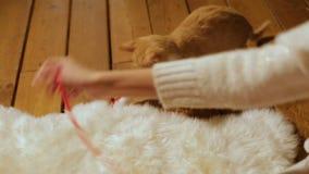παιχνίδι γατακιών κοριτσιών Κόκκινη σφαίρα του νήματος Δώρο Χριστουγέννων Εγχώρια άνεση απόθεμα βίντεο