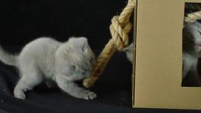 Παιχνίδι γατακιών με ένα κουτί από χαρτόνι απόθεμα βίντεο