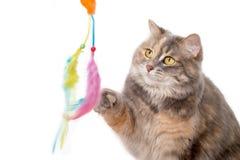 Παιχνίδι γατών βαμβακερού υφάσματος με ένα παιχνίδι Στοκ εικόνες με δικαίωμα ελεύθερης χρήσης