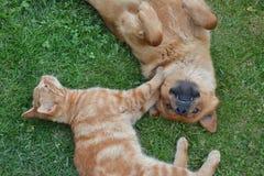 Παιχνίδι γατών και σκυλιών tenderly στη χλόη Στοκ Εικόνες